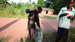 Boy collects African brush-tailed porcupine (Atherurus africanus) bushmeat and puts it in a bag, Lidjombo forest road near Dzanga-Ndoki National Park, Sangha-Mbaere Prefecture, Central African Republi... - Jabruson Motion