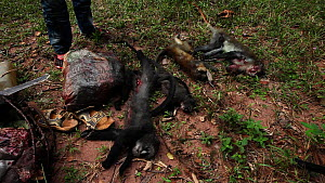 Hunters unload primate bushmeat catch from rucksack, including Putty-nosed monkey (Cercopithecus nictitans nictitans), Lidjombo forest road near Dzanga-Ndoki National Park, Sangha-Mbaere Prefecture, C... - Jabruson Motion
