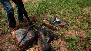 Hunters with primate bushmeat catch, including Putty-nosed monkey (Cercopithecus nictitans nictitans), Lidjombo forest road near Dzanga-Ndoki National Park, Sangha-Mbaere Prefecture, Central African R... - Jabruson Motion