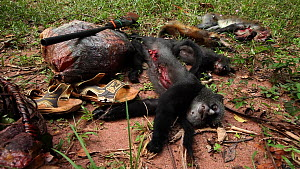Primate bushmeat catch, including Putty-nosed monkey (Cercopithecus nictitans nictitans), Lidjombo forest road near Dzanga-Ndoki National Park, Sangha-Mbaere Prefecture, Central African Republic, May... - Jabruson Motion