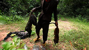Hunter adding two dead Putty-nosed monkeys (Cercopithecus nictitans nictitans) to a rucksack already containing a dead Blue duiker (Cephalophus moniticola), whilst two other men use leaves to swat awa... - Jabruson Motion