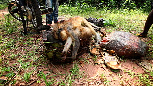 Hunter adding a dead Putty nosed monkey (Cercopithecus nictitans nictitans) and a Crowned monkey (Cercopithecus pogonias) to a rucksack already containing a dead Blue duiker (Cephalophus moniticola),... - Jabruson Motion