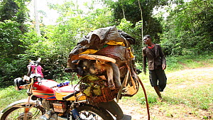 Static shot of a motorcycle packed with primate bushmeat, including Putty nosed monkey (Cercopithecus nictitans nictitans) and a Crowned monkey (Cercopithecus pogonias), with two men in the background... - Jabruson Motion