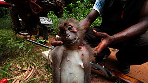 Man holding up a dead Agile mangabey (Cercocebus agilis) to the camera before loading it onto a bushmeat pile on the rear of motorbike, Lidjombo forest road near Dzanga-Ndoki National Park, Sangha-Mba... - Jabruson Motion