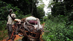Men standing around smoking near a dead Agile mangabey (Cercocebus agilis) on top of a bushmeat pile strapped to a motorcycle, with other mangabey limbs and hands and Blue duiker (Cephalophus monitico... - Jabruson Motion