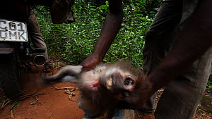 Man places purchased dead Agile mangabey (Cercocebus agilis) into a bag in readiness for motorbike taxi departure, Lidjombo forest road near Dzanga-Ndoki National Park, Sangha-Mbaere Prefecture, Centr... - Jabruson Motion