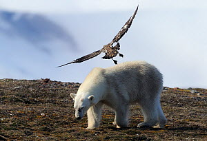 Polar Bear (Ursus maritimus)  mobbed by possibly a Skua, Svalbard, Norway, July - Staffan Widstrand