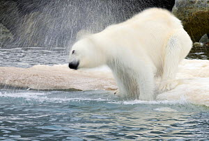 RF- Polar Bear (Ursus maritimus) shaking off water at ice edge, Svalbard, Norway. (This image may be licensed either as rights managed or royalty free.) - Staffan Widstrand