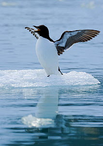Brunnich's Guillemot (Uria lomvia) stretching wings and calling on small ice floe, Svalbard, Norway, July - Staffan Widstrand