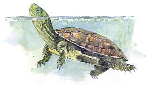 Illustration of Mediterranean Turtle (Mauremys leprosa) native to Mediterranean, from North western Africa to Iberia, Pencil and watercolor painting. - Juan Manuel Borrero