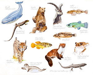 Illustration of threatened species of Spain : Blue whale (Balenoptera musculus), Brown bear (Ursus arctos), Spanish ibex (Capra pyrenaica hispanica), Bullhead (Cottus gobio), Iberian Rock Lizard (Lace... - Juan Manuel Borrero