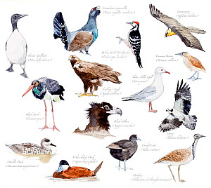 Illustration of threatened species of birds of Spain. Iberian Guillemot (Uria aalge ibericus), Cantabrian capercallie (Tetrao urogallus cantabricus), White backed woodpecker (Dendrocopos leucotos), La... - Juan Manuel Borrero