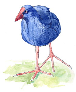 Illustration of Purple Gallinule (Porphyrio porphyrio). Pencil and watercolor painting.  -  Juan Manuel Borrero