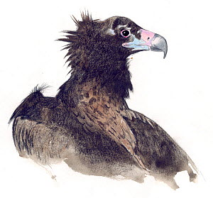 Illustration of Cinereous Vulture (Aegypius monachus) near Threatened species. Pencil and watercolor painting.  -  Juan Manuel Borrero