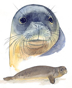 Illustration of Mediterranean Monk Seal (Monachus monachus) head and body. Critically Endangered species. Pencil and watercolor painting. - Juan Manuel Borrero