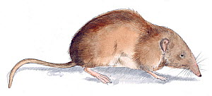 Illustration of Greater White-toothed Shrew (Crocidura russula). Pencil and watercolor painting.  -  Juan Manuel Borrero