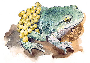 Illustration of Common Midwife toad (Alytes obstetricans). Pencil and watercolor painting.  -  Juan Manuel Borrero