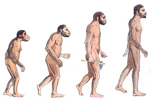 Illustration of human evolution from left to right Australopithecus afarensis, Australopithecus africanus, Homo erectus and Homo sapiens. Pencil and watercolor painting.  -  Juan Manuel Borrero