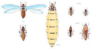 Illustration of termites (Isoptera sp), with winged king in the top left, wingless king bottom left. Workers top right, soldiers bottom right and queen -middle. Pencil and watercolor painting.  -  Juan Manuel Borrero