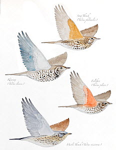 Illustration of Turdidae family: Song Thrush (Turdus Philomelos), Redwing (Turdus iliacus), Fieldfare (Turdus pilaris) and Mistle Thrush (Turdus viscivorus). Pencil and watercolor painting. - Juan Manuel Borrero