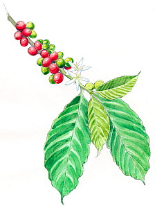 Illustration of Coffee plant (Coffea sp) Detail of leaves and fruit. Pencil and watercolor painting. - Juan Manuel Borrero