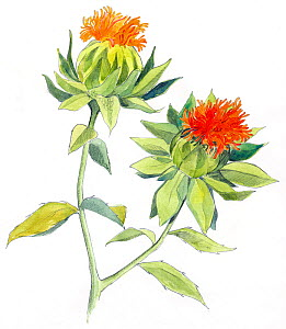 Illustration of Safflower (Carthamus tinctorius. Pencil and watercolor painting.  -  Juan Manuel Borrero