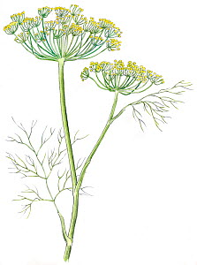 Illustration of Dill (Anethum graveolens). Pencil and watercolor painting.  -  Juan Manuel Borrero