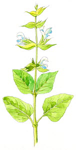 Illustration of Clary (Salvia sclarea). Pencil and watercolor painting.  -  Juan Manuel Borrero