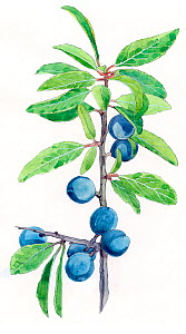 Illustration of Blackthorn (Prunus spinosa). Detail of leaves and fruit. Pencil and watercolor painting.  -  Juan Manuel Borrero