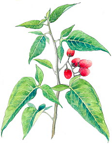 Illustration of Bittersweet (Solanum dulcamara). Detail of leaves and fruit. Pencil and watercolor painting.  -  Juan Manuel Borrero