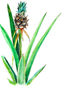 Illustration of Pineapple (Ananas comosus). Detail of leaves and fruit. Pencil and watercolor painting. - Juan Manuel Borrero