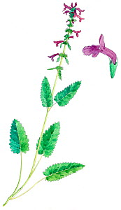 Illustration of Betony (Statchy / Betonica officinalis). Pencil and watercolor painting.  -  Juan Manuel Borrero