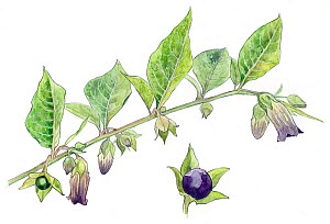 Illustration of Belladonna (Atropa belladonna). Pencil and watercolor painting.  -  Juan Manuel Borrero