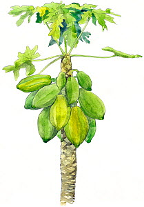 Illustration of Papaya (Carica papaya) fruit Pencil and watercolor painting.  -  Juan Manuel Borrero