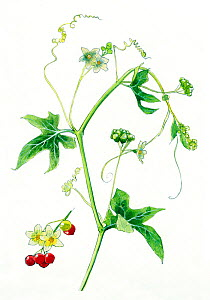 Illustration of Bryony (Bryonia dioica). Pencil and watercolor painting.  -  Juan Manuel Borrero