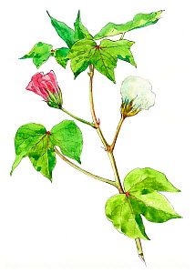Illustration of Cotton (Gossypium herbaceum) showing pink flower and seed head. Pencil and watercolor painting.  -  Juan Manuel Borrero