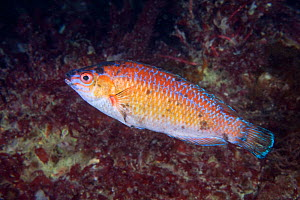 Rock Cook Wrasse (Centrolabrus exoletus) male. Guillaumesse, Sark, British Channel Islands, July.  -  Sue Daly