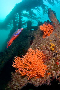 Ship wreck with male Cuckoo Wrasse (Labrus mixtus) and Pink Sea Fan / Warty Coral (Eunicella verrucosa) Wreck Forth, Herm, British Channel Islands, July.  -  Sue Daly