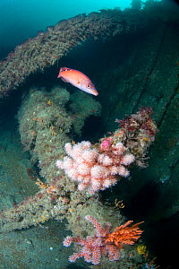 Shipwreck with Female Cuckoo Wrasse (Labrus mixtus) and Red Fingers Soft Coral (Alcyonium glomeratus). Wreck Forth, Herm, British Channel Islands, July.  -  Sue Daly