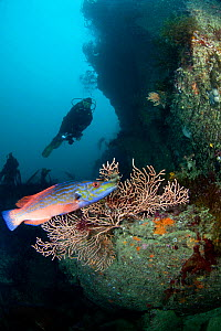 Diver, male Cuckoo Wrasse (Labrus mixtus) and Pink Sea Fan (Eunicella verrucosa). Channel Islands, UK, August.  -  Sue Daly