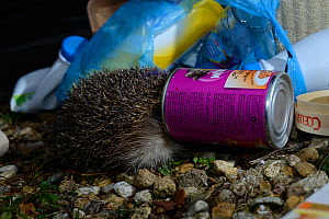 European Hedgehog (Erinaceus europaeus) with head in a pot of catfood tin next to bag of rubbish. Central France, February  -  Daniel Heuclin