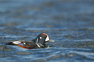 Harlequin duck (Histrionicus histrionicus), male on river Lxa, in summer plumage, Iceland, June  -  Paul Hobson