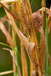 Harvest mouse (Micromys minutus) in barley cereal field, Yorkshire, UK  Captive - Paul Hobson