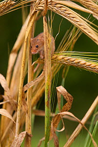 Harvest mouse (Micromys minutus) on barley cereal, Yorkshire, UK Captive - Paul Hobson