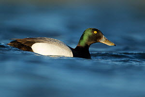 Greater scaup duck (Aythra marila) male on water, Iceland June  -  Paul Hobson