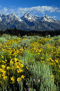 View of the Teton Range from Blacktail Ponds Overlook, with flowers in foreground, Grand Teton National Park. Wyoming, USA, July 2011  -  Kirkendall-Spring