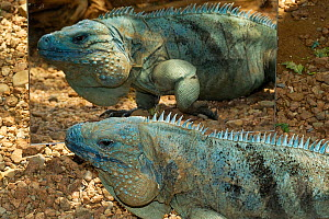 Cayman blue iguana (Cyclura lewisi) reflected in mirror, captive, Indianapolis Zoo, Indiana, USA, Endangered species  -  Roland Seitre
