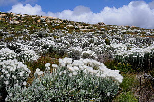 Cape Everlasting (Syncarpha speciosissima) in fynbos mosaic scrubland on sloping rocky ground. Cape Point, Table Mountain Nat Park, Cape Town, South Africa, October  -  Tony Phelps