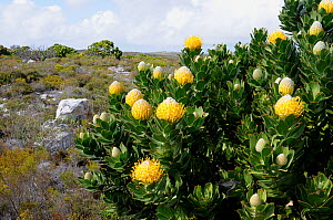 Pincushion (Leucospermum cococarpodendron) in fynbos mosaic shrubland. Cape Point, Table Mountain National Park, Cape, Town, South Africa, October - Tony Phelps