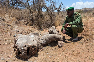 White rhinoceros (Ceratotherium simum) carcass of animal poached for its horn, one week after killing, with security officer John Tanui, Lewa Conservancy, Laikipia, Kenya, September 2012  -  Ann & Steve Toon